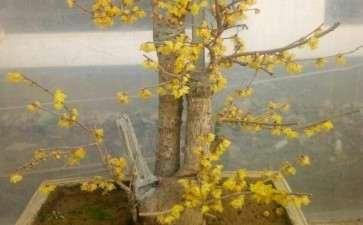 腊梅盆景怎么栽种施肥的方法