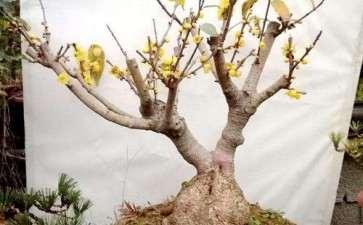 腊梅盆景怎么施肥养护的3个方法
