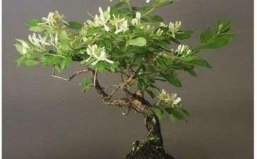 金银花盆景怎么栽培管理的5个步骤
