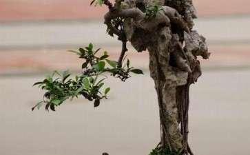 榕树盆景怎么修剪的4个方式