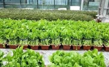 蔬菜盆栽种植线上线下形成产业链