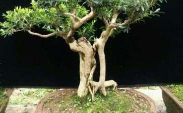 雀舌黄杨盆景怎么上盆修剪的方法