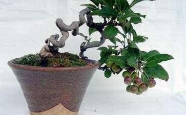 盆景果树结果的7个生长特点