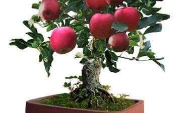 苹果盆景怎么修剪造型的方法
