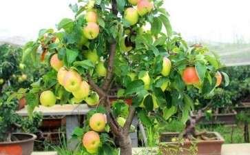 苹果盆景怎么浇水施肥的2和方法
