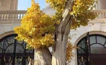 银杏盆景怎么上盆造型的2个方法