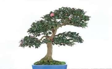 茶花盆景怎么播种的7个方法