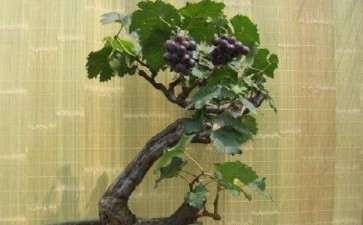 盆栽葡萄怎么整形修剪的2个方法