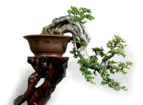 树桩盆景怎么翻盆换土的4个方法
