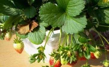 草莓盆栽怎么养护管理3个方法