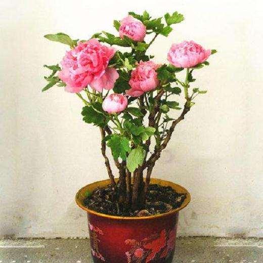盆栽牡丹怎么修剪防寒的方法