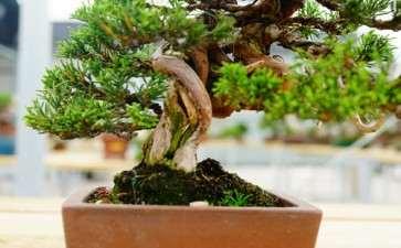 杂木盆景怎么防治病虫害的4个方法