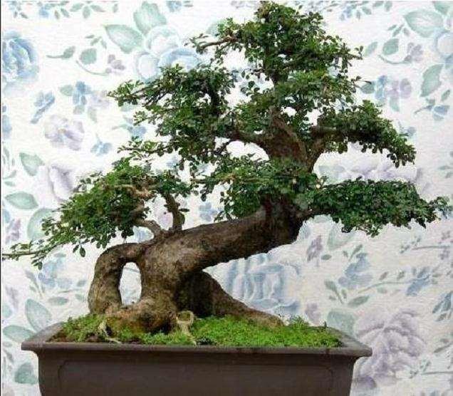 树木盆景的枝条怎么处理的方法