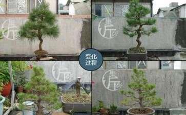 图解 黑松盆景怎么平衡树势的方法