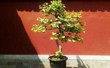 银杏树桩盆景怎么造型的3个步骤