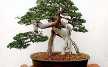 树木盆景怎么翻盆换土的方法