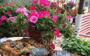 适于阳台栽种的花卉种类有哪些