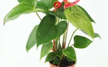 红掌盆栽怎么肥料管理的3个方法