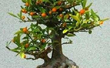 金豆盆景怎么播种的3个技术