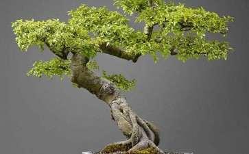 榆树盆景嫩枝怎么扦插的6个方法
