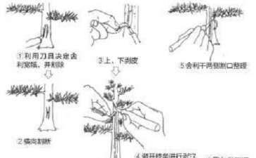 盆景舍利干怎么制作的5个技术