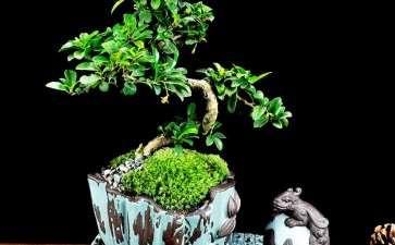榕树老桩盆景怎么修剪的7个方法