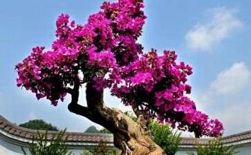 三角梅盆景怎么地栽控花的方法