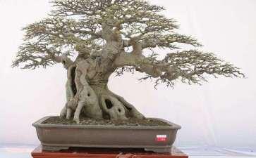 朴树盆景怎么发芽养护管理的方法 图片