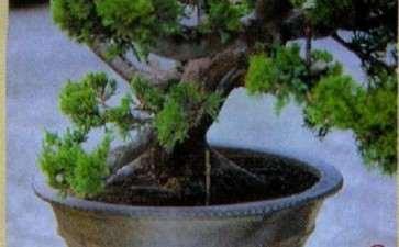 图解 盆景神枝和舍利干怎么创作的7个步骤