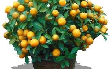 金桔盆景怎么多挂果的方法