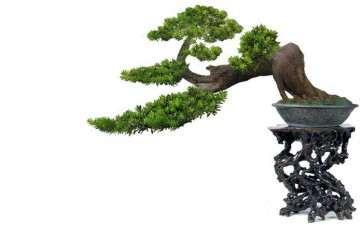 米叶罗汉松盆景怎么浇水修剪的方法