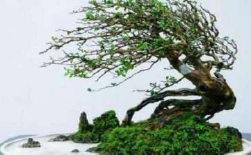 动势盆景中单体树木的取势布局有哪些方法