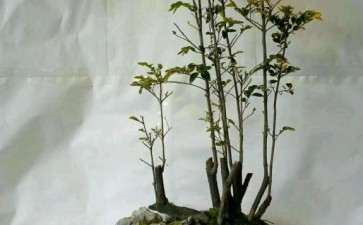 水旱盆景怎么加工树材的方法