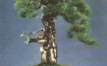 干的类型及在树木盆景中的线性美