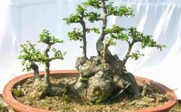 榆树盆景繁殖苗怎么养护的方法