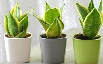 栀子花家庭盆栽怎么用土的方法