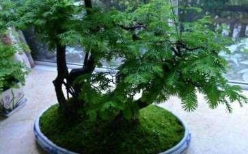 水杉盆景怎么养护的5个步骤