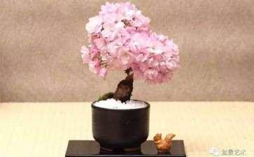 樱花盆景怎么高接换头的4个方法