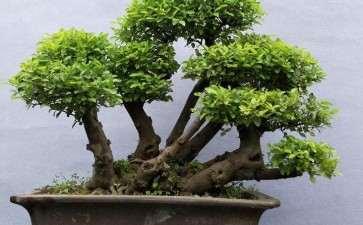 雀梅盆景怎么浇水施肥的5个方法
