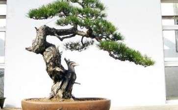 树木盆景赏析中的批判性