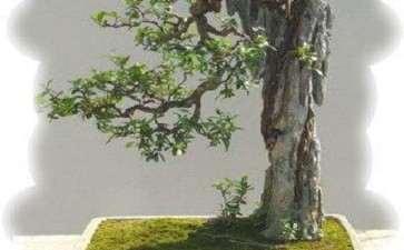 树木盆景赏析的特点 差异性有哪些