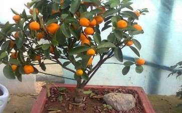家庭盆栽果树怎么浇水施肥的方法