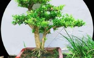 赤楠盆景桩材怎么加工造型的3个方法