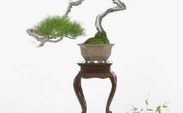 中国盆景艺术与日本盆景艺术都具备艺术美