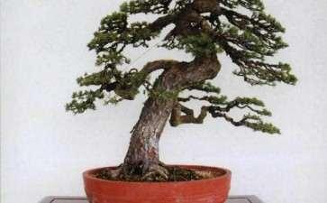 中国盆景与日本盆景艺术都具备自然美