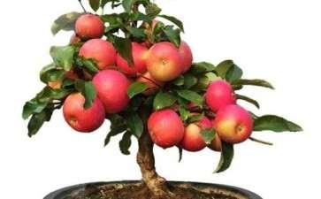 苹果盆景怎么授粉的4个技术