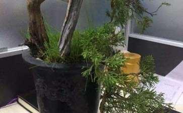 图解 柏树小品盆景怎么设计的方法