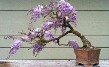 紫藤盆景多年不开花 有5个方法解救