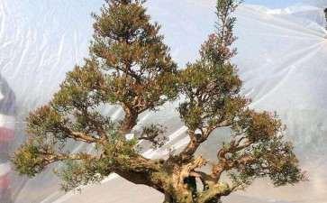 赤楠盆景怎么修枝整形的方法