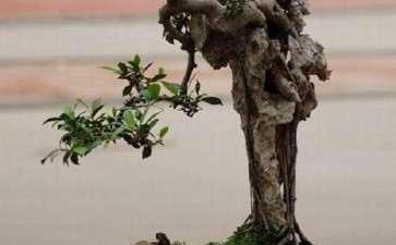 榕树盆景制作要与时俱进 要大胆革新